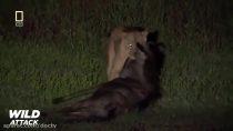شیرها بهترین شکارچیان حیات وحش